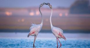 flamingo-ask